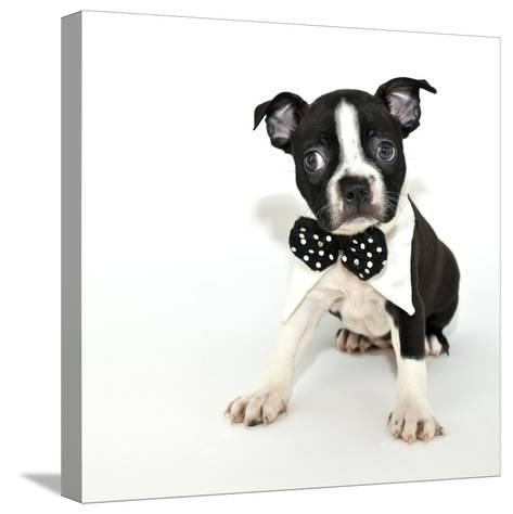Boston Terrier Puppy- JStaley401-Stretched Canvas Print