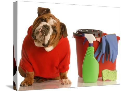 Bulldog In Red Sweater With Cleaning Supplies-Willee Cole-Stretched Canvas Print