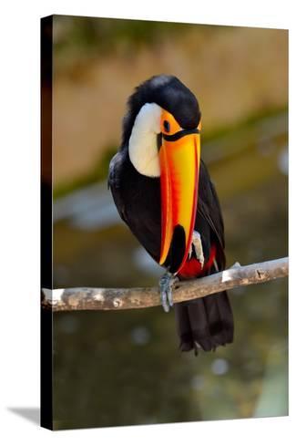 Toucan Outdoor - Ramphastos Sulphuratus-geanina bechea-Stretched Canvas Print