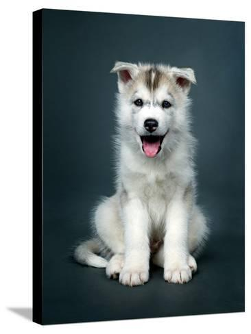 Puppy Of Siberian Husky-ingret-Stretched Canvas Print