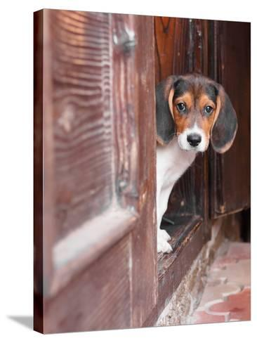 Portrait Of A Cute Beagle Puppy Sitting On Doorstep-jaycriss-Stretched Canvas Print