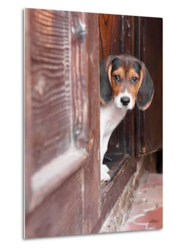 Portrait Of A Cute Beagle Puppy Sitting On Doorstep-jaycriss-Metal Print