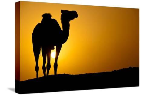 Sun Going Down in a Hot Desert: Silhouette of a Wild Camel at Sunset-l i g h t p o e t-Stretched Canvas Print