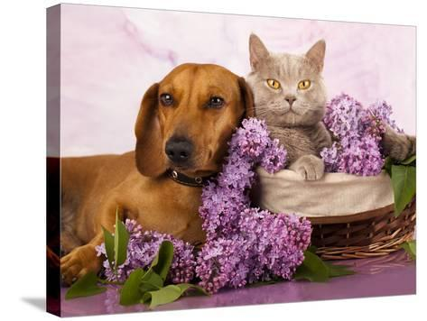 British Kitten Rare Color (Lilac) And Puppy Red Dachshund, Cat And Dog-Lilun-Stretched Canvas Print