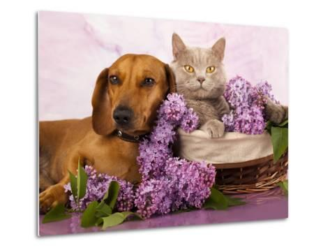 British Kitten Rare Color (Lilac) And Puppy Red Dachshund, Cat And Dog-Lilun-Metal Print