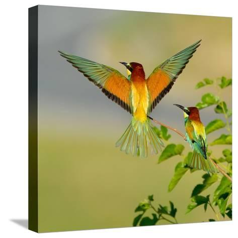 European Bee-Eater (Merops Apiaster) Outdoor-mirceab-Stretched Canvas Print