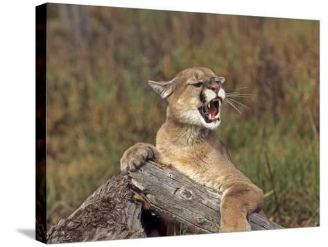Cougar Growling-outdoorsman-Stretched Canvas Print