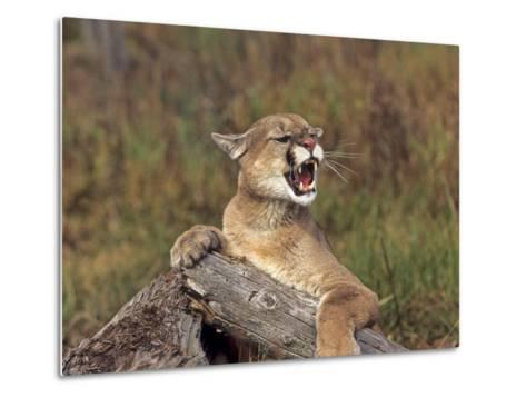 Cougar Growling-outdoorsman-Metal Print