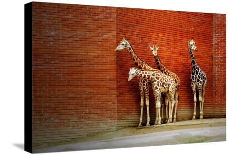 Giraffes-yuran-78-Stretched Canvas Print