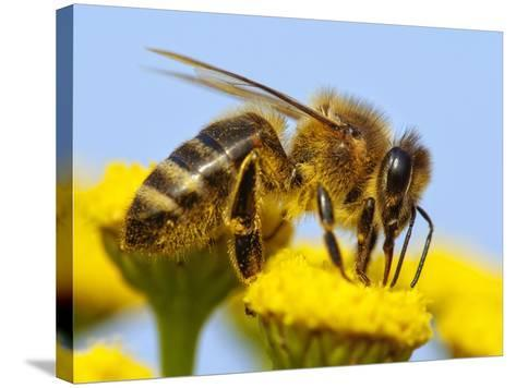 Detail Of Honeybee-Daniel Prudek-Stretched Canvas Print