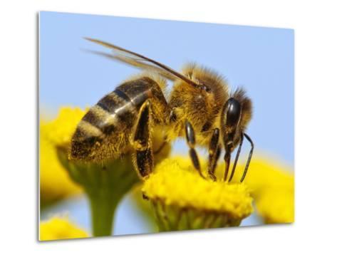 Detail Of Honeybee-Daniel Prudek-Metal Print
