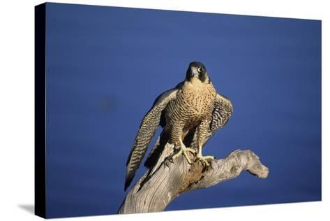 Falcon-outdoorsman-Stretched Canvas Print
