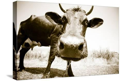 Funny Cow Stains-ongap-Stretched Canvas Print