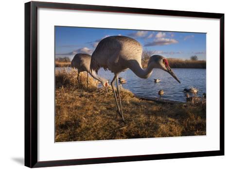 Sandhill Cranes and Mallard Ducks, British Columbia, Canada-Art Wolfe-Framed Art Print