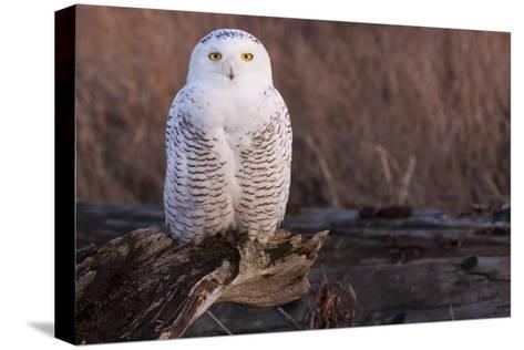 Snowy Owl, British Columbia, Canada-Art Wolfe-Stretched Canvas Print