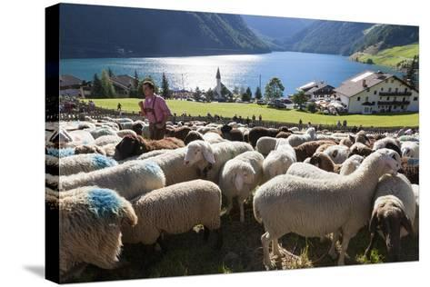 Sheep in the Alps Between South Tyrol, Italy, and North Tyrol, Austria-Martin Zwick-Stretched Canvas Print