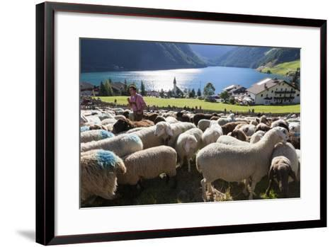 Sheep in the Alps Between South Tyrol, Italy, and North Tyrol, Austria-Martin Zwick-Framed Art Print