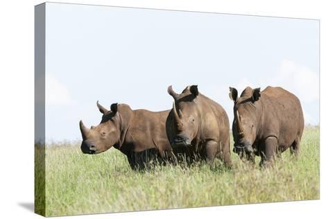White Rhinoceros, Kenya-Martin Zwick-Stretched Canvas Print