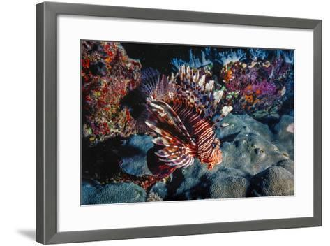 Lionfish at Daedalus Reef (Abu El-Kizan), Red Sea, Egypt-Ali Kabas-Framed Art Print