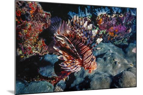 Lionfish at Daedalus Reef (Abu El-Kizan), Red Sea, Egypt-Ali Kabas-Mounted Photographic Print