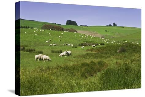 Sheep Grazing in Green Field Near Dunedin, South Island, New Zealand-Jaynes Gallery-Stretched Canvas Print