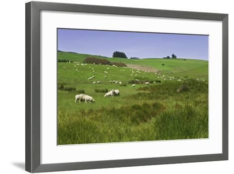 Sheep Grazing in Green Field Near Dunedin, South Island, New Zealand-Jaynes Gallery-Framed Art Print