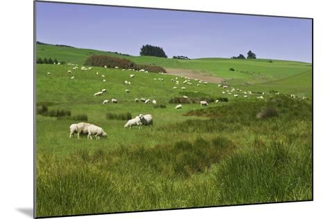 Sheep Grazing in Green Field Near Dunedin, South Island, New Zealand-Jaynes Gallery-Mounted Photographic Print