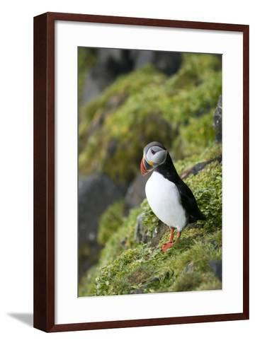 Atlantic Puffin, Sassenfjorden, Spitsbergen, Svalbard, Norway-Steve Kazlowski-Framed Art Print