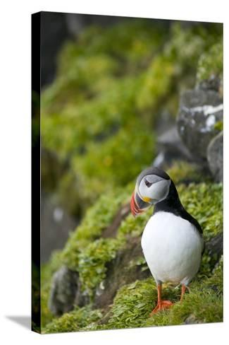 Atlantic Puffin, Spitsbergen, Svalbard, Norway-Steve Kazlowski-Stretched Canvas Print