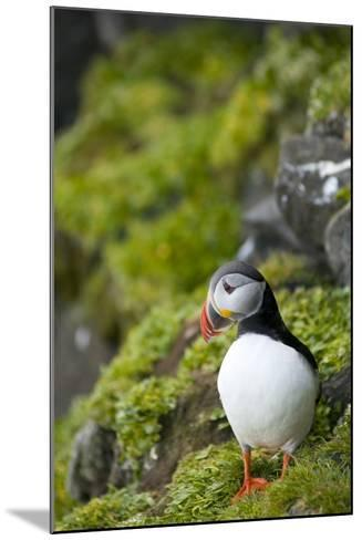 Atlantic Puffin, Spitsbergen, Svalbard, Norway-Steve Kazlowski-Mounted Photographic Print