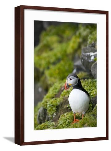 Atlantic Puffin, Spitsbergen, Svalbard, Norway-Steve Kazlowski-Framed Art Print