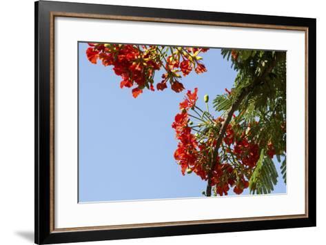 Close-Up of African Flame Tree, Stone Town, Zanzibar, Tanzania-Alida Latham-Framed Art Print