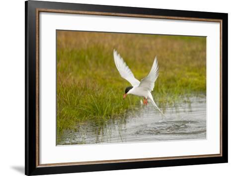 Arctic Tern Fishing, Longyearbyen, Spitsbergen, Svalbard, Norway-Steve Kazlowski-Framed Art Print
