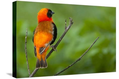 Southern Red Bishop, Serengeti National Park, Tanzania-Art Wolfe-Stretched Canvas Print