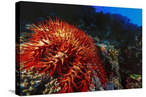 Crown-Of-Thorns Starfish at Daedalus Reef, Red Sea, Egypt-Ali Kabas-Stretched Canvas Print