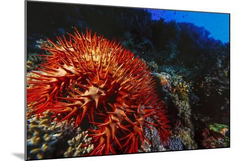 Crown-Of-Thorns Starfish at Daedalus Reef, Red Sea, Egypt-Ali Kabas-Mounted Photographic Print