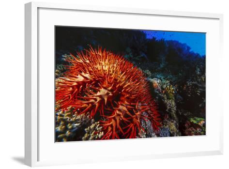 Crown-Of-Thorns Starfish at Daedalus Reef, Red Sea, Egypt-Ali Kabas-Framed Art Print
