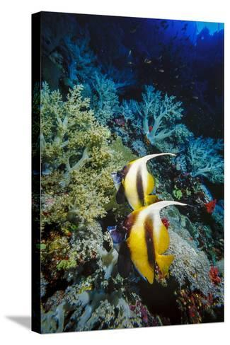 Pair of Red Sea Bannerfish at Daedalus Reef, Red Sea, Egypt-Ali Kabas-Stretched Canvas Print