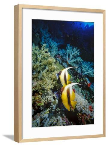 Pair of Red Sea Bannerfish at Daedalus Reef, Red Sea, Egypt-Ali Kabas-Framed Art Print
