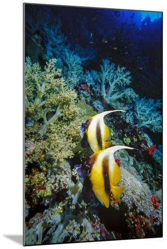 Pair of Red Sea Bannerfish at Daedalus Reef, Red Sea, Egypt-Ali Kabas-Mounted Photographic Print