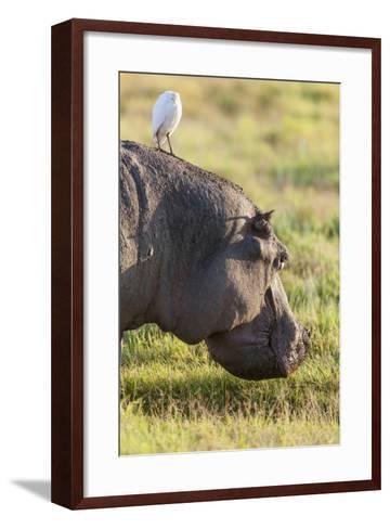 Hippopotamus Grazing, Amboseli National Park, Kenya-Martin Zwick-Framed Art Print