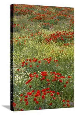 Red Poppy Field in Central Turkey During Springtime Bloom-Darrell Gulin-Stretched Canvas Print