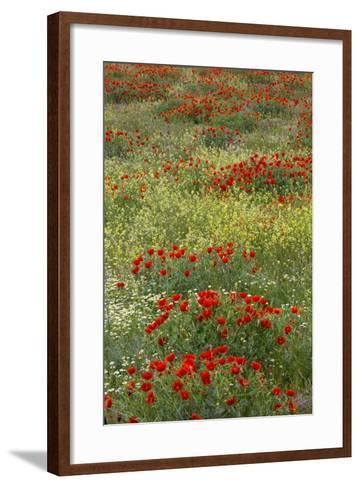 Red Poppy Field in Central Turkey During Springtime Bloom-Darrell Gulin-Framed Art Print