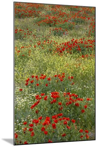 Red Poppy Field in Central Turkey During Springtime Bloom-Darrell Gulin-Mounted Photographic Print