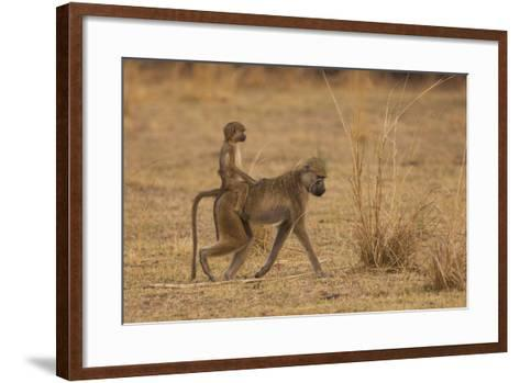 Chacma Baboons, South Luangwa National Park, Zambia-Art Wolfe-Framed Art Print