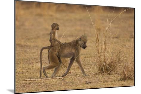 Chacma Baboons, South Luangwa National Park, Zambia-Art Wolfe-Mounted Photographic Print