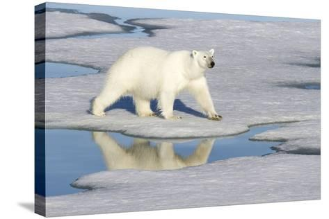 Polar Bear Reflected in Pool as it Walks across Ice, Svalbard, Norway-Jaynes Gallery-Stretched Canvas Print