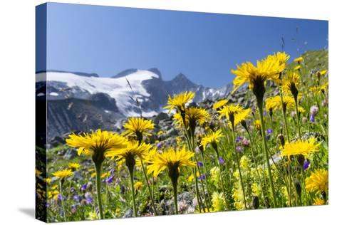 Rough Hawkbit in Full Bloom, Zillertal Alps, Austria-Martin Zwick-Stretched Canvas Print