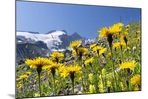 Rough Hawkbit in Full Bloom, Zillertal Alps, Austria-Martin Zwick-Mounted Photographic Print