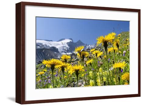 Rough Hawkbit in Full Bloom, Zillertal Alps, Austria-Martin Zwick-Framed Art Print